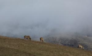 Zebra herd, San Simeon, CA. (Kathleen Kenna photo)