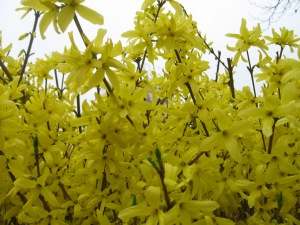Forsythia. (Kathleen Kenna photo)