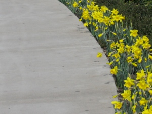 Daffodil border. (Kathleen Kenna photo)