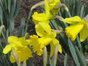 Daffodils. (Kathleen Kenna photo)