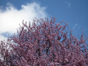Cherry blossoms, Southern Oregon. (Kathleen Kenna photo)