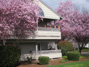 Cherry blossoms in Southern Oregon. (Kathleen Kenna photo)
