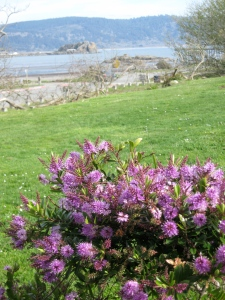 California lilacs, Crescent City. (Kathleen Kenna photo)