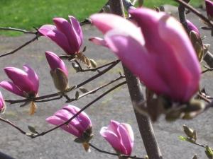 Tulip magnolias. (Hadi Dadashian photo)