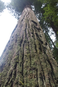 Redwood, Jedediah Smith State Park, CA. (Hadi Dadashian photo)