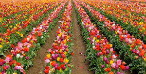 Tulip fields, Oregon. (Hadi Dadashian photo)