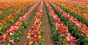 Tulip fields, Oregon. (Hadi Dadashian photo)