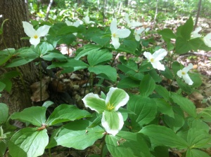 Trilliums in Stouffville, Canada. (Amanda Morrow photo)