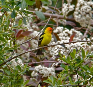 Western tanager. (Hadi Dadashian photo)
