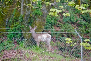 Deer, WA. (Kathleen Kenna photo)
