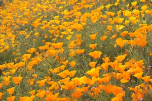 California poppies in WA. (Hadi Dadashian photo)