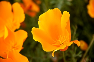 California poppy close-up. (Hadi Dadashian photo)