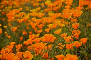 California poppies (Hadi Dadashian photo)