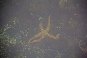 Sea star in shallow watr, WA. (Hadi Dadashian photo)
