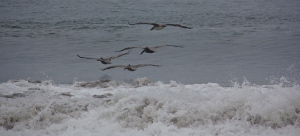 Brown pelicans skim the waters off Westport, WA. (Hadi Dadashian photo)