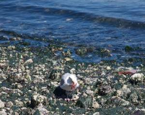 Washington sea gull eats baby sea star. (Hadi Dadashian)