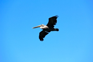 Morro Bay, Ca pelican. (Hadi Dadashian photo)