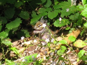 Chipmunk near South Puget Sound. (Kathleen Kenna photo)