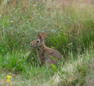 Afternoon guest, Chambers Bay Golf Course, WA. (Kathleen Kenna photo)
